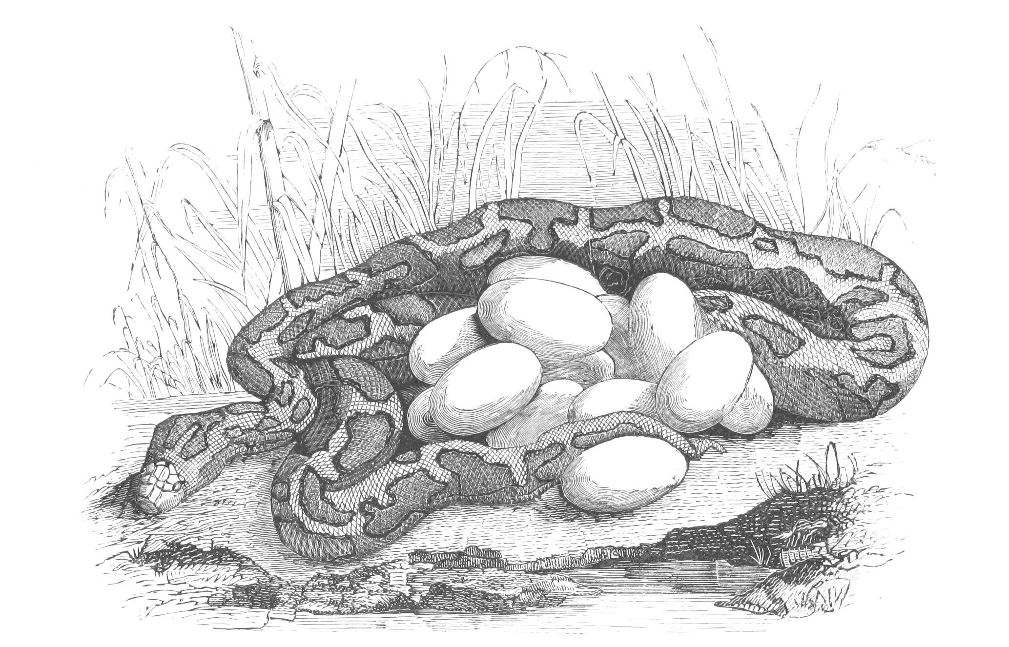Python with eggs